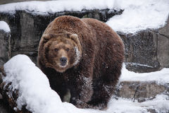 Snow Bear Stock Photo