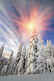 Snow in the beautiful wild fir forest Stock Image
