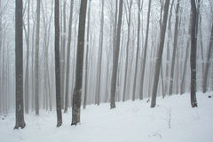 Snow beech forest Stock Image