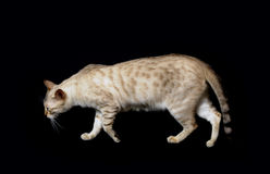 Snow bengal cat Royalty Free Stock Image