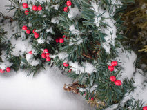 Snow Berries Stock Photography