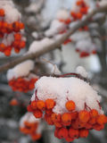 Snow on berries Stock Images