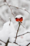 Snow berries Royalty Free Stock Photos