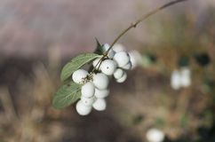 Snow berries Royalty Free Stock Photography