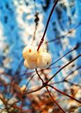 Snow berries in spring forest. Snow berries on tree branches in spring forest stock images