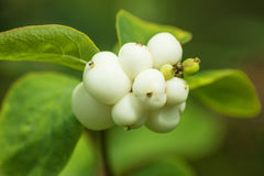 Snow-berry Stock Images