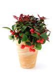 Snow berry Gaultjeria flowerpot on isolated background Stock Image