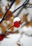 Snow Berry Stock Photography