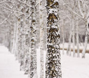 Snow on the birch tree Stock Photo
