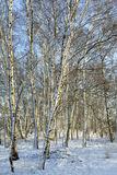 Snow on the birch trees royalty free stock photo