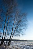 Snow Birches. Birches on field covered in snow on clear blue sky stock images