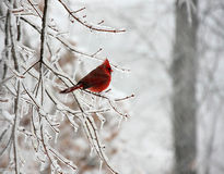 Snow bird Stock Image