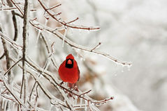 Snow bird Stock Photography