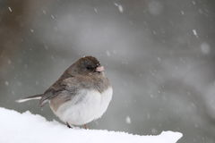 Snow Bird Stock Photos