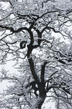 The snow on the black tree. Royalty Free Stock Photos