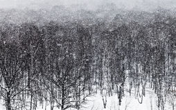 Snow blizzard ander oak forest Royalty Free Stock Images