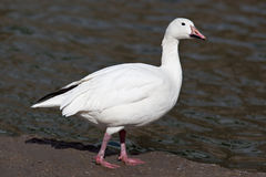 Snow, or Blue Goose Stock Photography