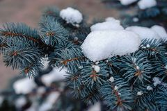 Snow on blue spruce Royalty Free Stock Images