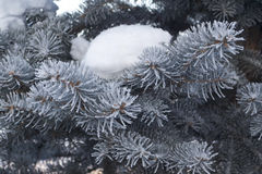 Snow on a blue spruce Royalty Free Stock Images