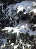 Snow on a blue spruce stock photography