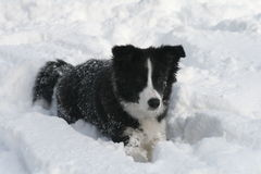 Snow border collie puppy. Snow fun for the first time Stock Photography