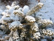 Snow-bound firry branches. Winter view. snow on fir-tree branches Stock Photo