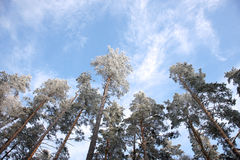 Snow-bound pine trees tops against clear blue sky Royalty Free Stock Photography