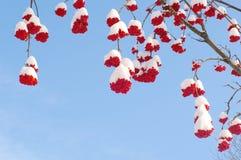 Snow-bound rode bessen van lijsterbes Stock Afbeeldingen