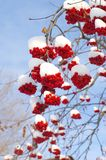 Snow-bound rowan. Branches with bunches of red berry Royalty Free Stock Photos