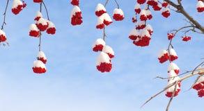 Snow-bound rowan berry on blue. Winter rowan on blue sky Stock Images
