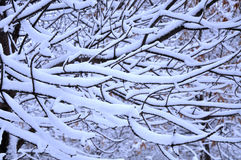 Snow branch. First snowing in this year Royalty Free Stock Images