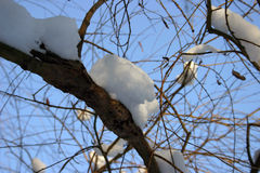 Snow on branch 2. Snow laying on a branch with blue sky background stock photography