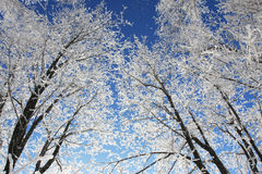 Snow branch. Winter snow branch blue clear sky Royalty Free Stock Image