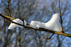 Snow on branch. Snow laying on a branch with blured blue background royalty free stock photography