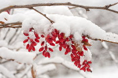 The branch of a barberry. Stock Images