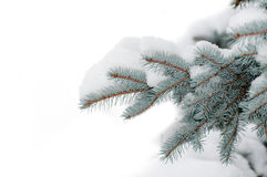 Snow on the branch blue spruce Royalty Free Stock Photos