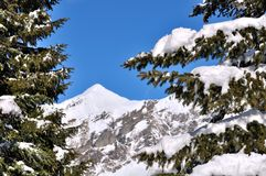 Snow on branch of fir Royalty Free Stock Image
