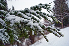 Snow on the branch of fir-tree Stock Images