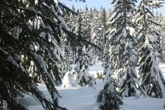 Snow branch firs canadian winter vancouver. Canadian Winter is amazing Royalty Free Stock Images
