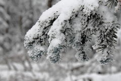 Snow branch. Tree branch after a snowfall in a mountain forest Stock Photo