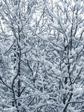 Snow on the branches. First snow on the branches, the winter Royalty Free Stock Photo