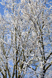 Snow on branches. Stock Image