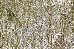 Snow on branches. Royalty Free Stock Photography