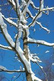 Snow on Branches. First snow on branches in December stock photography