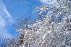 Snow on branches with blue sky Stock Photos