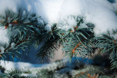 Snow on the branches. Blue spruce stock photo