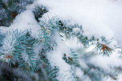 Snow on the branches of the blue. There is snow on the branches blue spruce royalty free stock photos