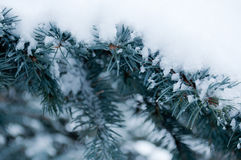 Snow on the branches of the blue. There is snow on the branches blue spruce stock photos