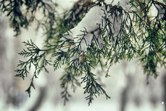 Snow on the branches of fir tree. Amazing fir tree`s branches under the snow layer. Amazing view due to amazing season. Compilation of green and white colors is Stock Photography