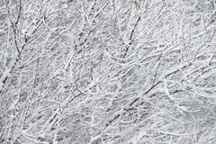 Snow and branches Royalty Free Stock Photography